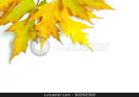 autumn leafs  stock photo, autumn maple leafs isolated on a white  by Vitaliy Pakhnyushchyy