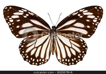 Butterfly species Danaus melanippus