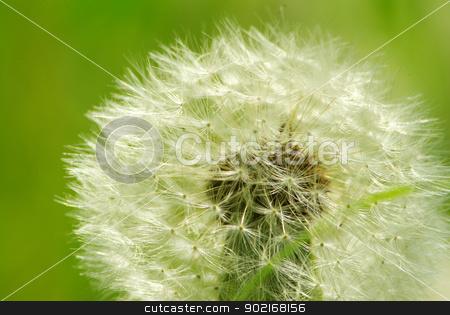 dandelion  stock photo, Close up of a dandelion on green by Vitaliy Pakhnyushchyy