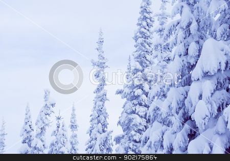 winter spruce stock photo, A cold scene in winter of snow covered spruce trees by Anatoliy Nykilchyk