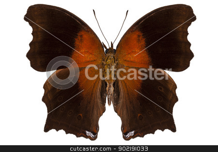 brown and orange butterfly stock photo, brown and orange butterfly in high definition with extreme focus isolated on white background by paulrommer