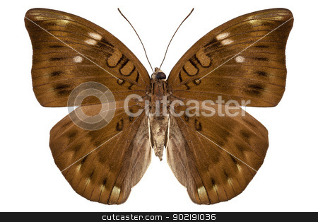 brown butterfly stock photo, brown butterfly in high definition with extreme focus isolated on white background by paulrommer