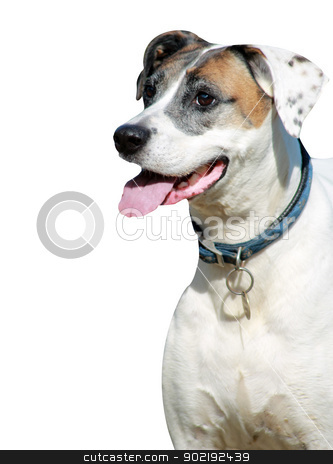 Healthy dog with copy space stock photo, Healthy and happy dog with tongue out isolated on white background with copy space. by Martin Crowdy