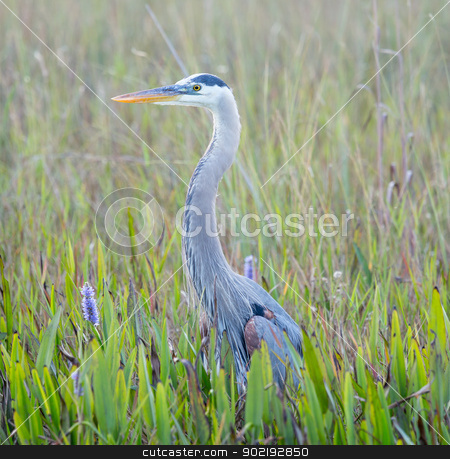 Great Blue Heron in wetlands of Florida stock photo, Side view of Great Blue Heron in Everglades National Park Florida by Steven Heap