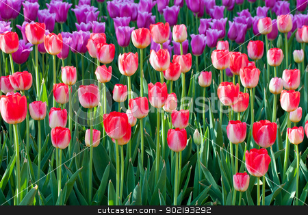 spring tulips stock photo, spring tulips green flower background by Vladyslav Danilin