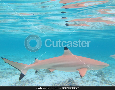 Blacktip Shark stock photo, Blacktip Shark in Colorful Lagoon of Bora Bora, French Polynesia from above.  by Achim Baque