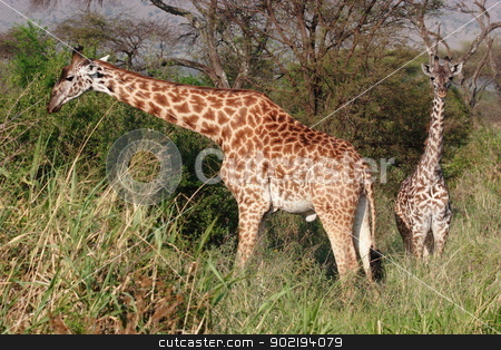 Giraffes  stock photo, Giraffes in high grass of Serengeti NP by Achim Baque