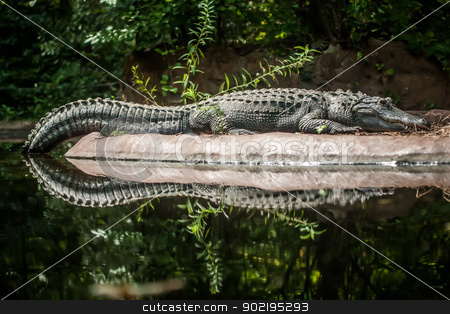 Crocodile is between land and water  stock photo, Crocodile is between land and water by digidreamgrafix.com
