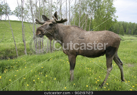 Moose stock photo, Moose in the forest in Sweden by Ingvar Bjork