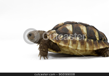 Young turtle on a white background stock photo, Testudo hermanni tortoiseon a white isolated background by Nneirda