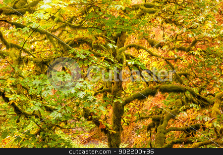 Green Tree Moss, Colorful Fall Autumn Leaves Multnomah Falls Col stock photo, Green Tree Moss Colorful Fall Autumn Leaves Multnomah Falls Columbia River Gorge, Oregon, Pacific Northwest by William Perry