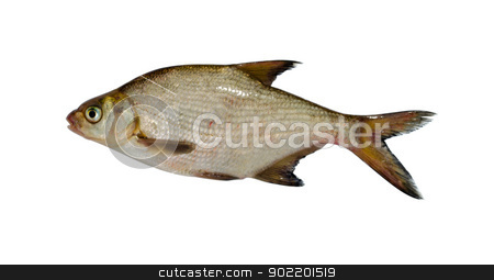 silver bream lake fish closeup isolated on white  stock photo, silver bream (abramis brama) lake fish closeup isolated on white background.  by sauletas