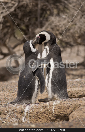 two magellanic penguin standing in front of their nest stock photo, two magellanic penguin in the pinguinera in  punta tombo, patagonia, argentina, standing in front of their nest by faabi
