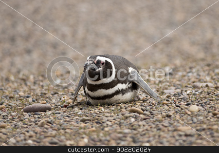 magellanic penguin stock photo,  magellanic penguin laying on the stones in punta tombo, patagonia, argentina  by faabi
