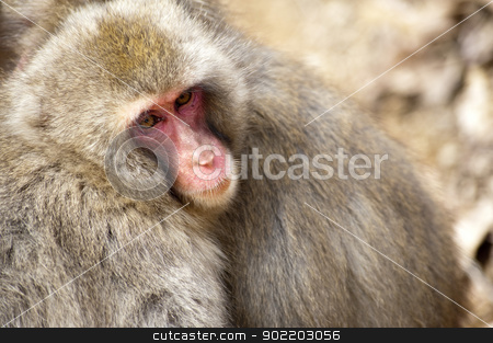 Japanese Snow Monkeys stock photo, a pair of Japanese snow monkeys or Japanese Macaque huddled close together for warmth by Stephen Gibson