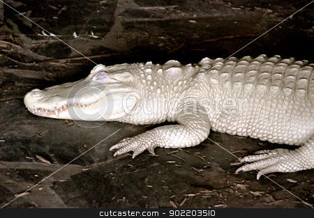 Alligator Albino stock photo, Alligator Albino by Liane Harrold