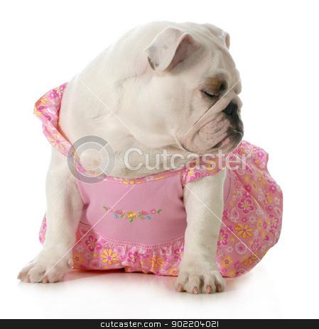 female dog stock photo, female dog - english bulldog wearing pink dress isolated on white background by John McAllister