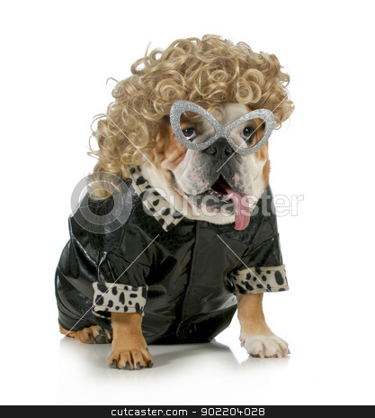 female dog stock photo, female dog - english bulldog wearing blonde wig and black leather coat isolated on white background by John McAllister