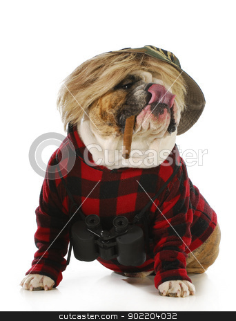 hunting dog stock photo, hunting dog - english bulldog smoking cigar and wearing binoculars and hunting sweater isolated on white background by John McAllister