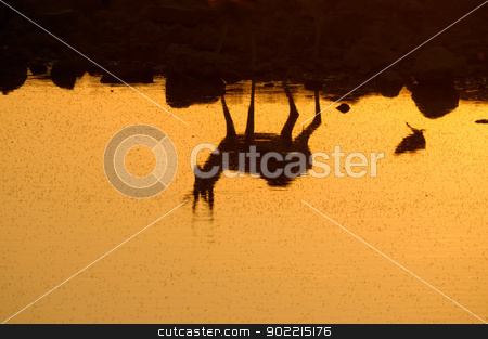 Reflection of a Springbok in the Etosha National Park stock photo, Reflection of a Springbok at sunset  in the Etosha National Park in Namibia by Grobler du Preez