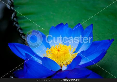 water lily stock photo, beautiful blue water lily in Kew Gardens London by Desislava Dimitrova