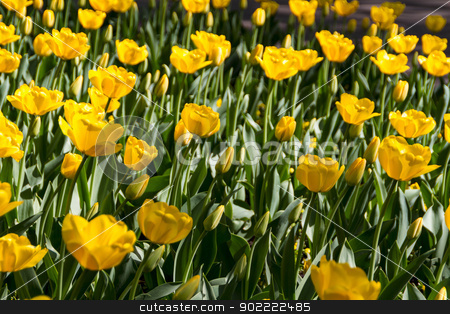 yellow tulips stock photo, yellow tulips by Andrey Starostin