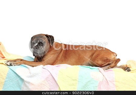 old boxer breed stock photo, old boxer breed laying on a sheet by coroiu octavian
