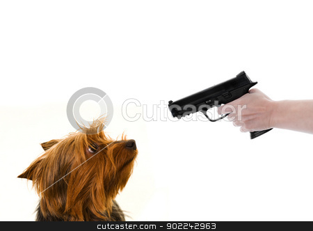 yorkie and gun stock photo, yorkie dog looking at a gun pointed at it isolated on white by sijohnsen