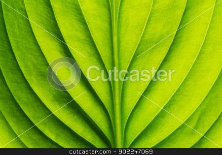 green leaf  stock photo, Texture of a green leaf as background by Vitaliy Pakhnyushchyy
