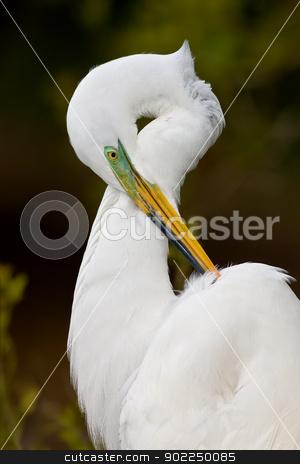 Great Egret (Ardea alba) stock photo, Great egret in breeding plumage portrait. by Glenn Price