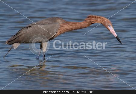 Reddish Egret (Egretta rufescens) stock photo, Adult reddish egret hunting for fish in the ocean. by Glenn Price