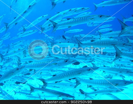 School of barracudas stock photo, School of barracudas in Palau by otohime