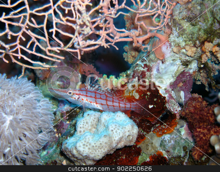 Longnose hawkfish stock photo, Longnose hawkfish in Red Sea         -  noise/grain at full size by otohime