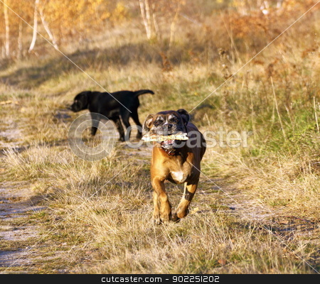 boxer running with a stick stock photo, playing boxer running with a stick in its mouth by coroiu octavian