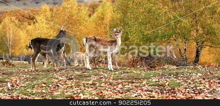 fallow deer herd in autumn stock photo, fallow deer ( dama dama ) herd in a glade at an animal park in autumn by coroiu octavian