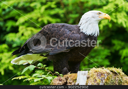 Eagle stock photo, North American Bald Eagle standing on a stump by Harris Shiffman