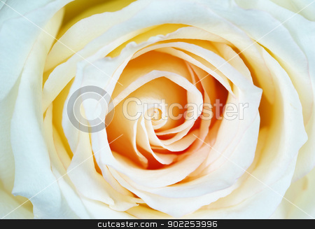 rose  stock photo, macro of white rose with water drops by Vitaliy Pakhnyushchyy