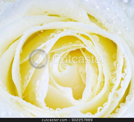 white rose stock photo, macro of white rose with water drops by Vitaliy Pakhnyushchyy