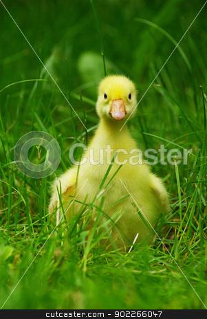 ducklings stock photo, cute duckling in green grass by Vitaliy Pakhnyushchyy