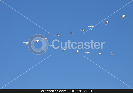 Tundra Swans Flying in Formation stock photo, Tundra Swans ( Cygnus columbianus ) fly in V- formation.This swan is similar to the Whistling Swan and Trumpeter Swan. by Delmas Lehman