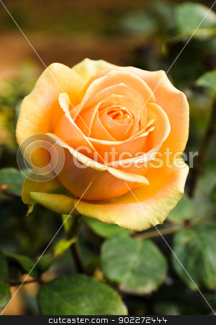 Rose in the garden  stock photo, Beautiful rose in the garden  by boonsom