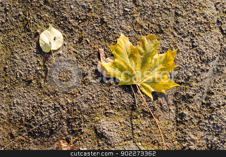 colorful autumn maple linden tree leaves lie grunge asphalt road  stock photo, colorful autumn maple and linden tree leaves lie on old grunge asphalt road.  by sauletas