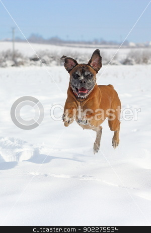 playful boxer jumping stock photo, boxer breed running in big snow in a winter day by coroiu octavian