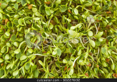 clover and radish sprouts stock photo, background texture of fresh clover and radish sprouts by Marek Uliasz