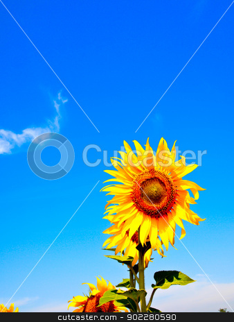 Sunflower with blue sky stock photo, Sunflower with blue sky by Gjee