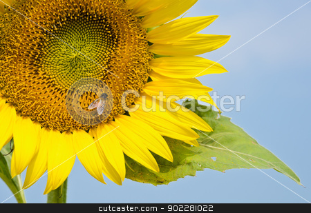 Sunflower  stock photo, Sunflower with bee by boonsom