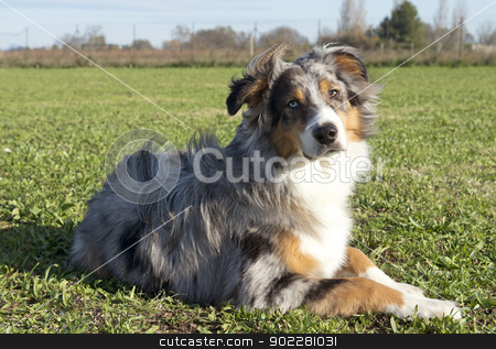 australian shepherd stock photo, portrait of purebred australian shepherd in a field by Bonzami Emmanuelle