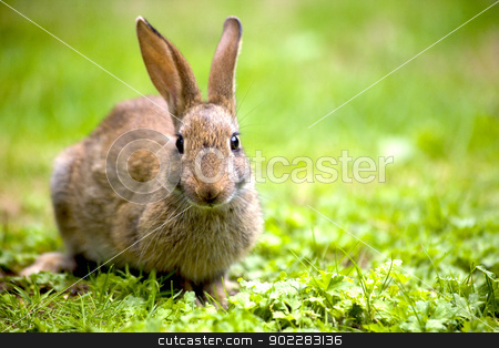 Wild rabbit stock photo, Wild rabbit in the nature by Laurent Renault