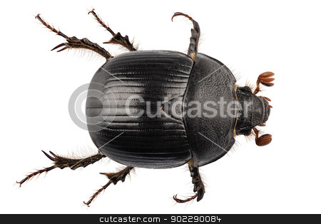 earth-boring dung beetle species Geotrupes stercorarius stock photo, earth-boring dung beetle species Geotrupes stercorarius in high definition with extreme focus and DOF (depth of field) isolated on white background by paulrommer
