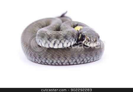 snake  stock photo, snake isolated on white background by Vitaliy Pakhnyushchyy